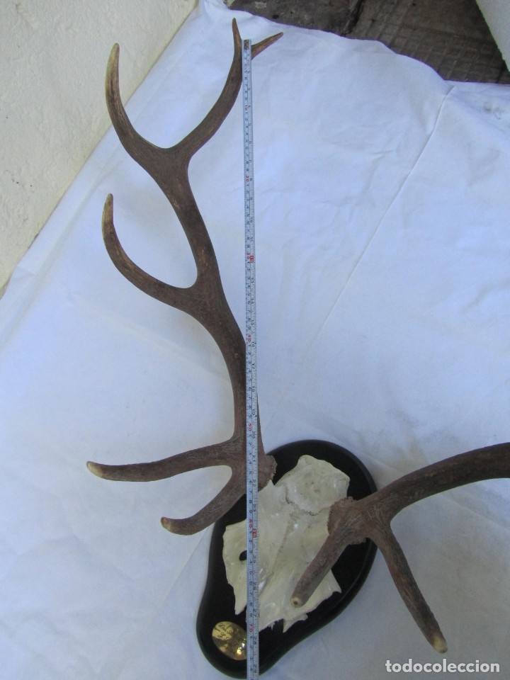 Antigüedades: Cornamenta de ciervo sobre placa de madera Los Alarcones, Andujar Jaén, 1994 - Foto 13 - 181037607