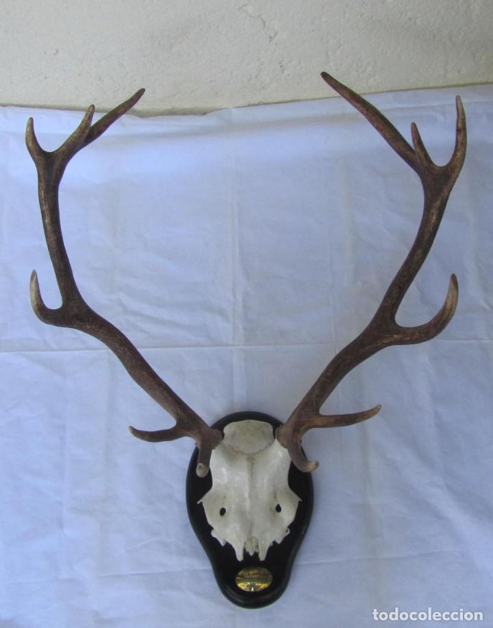 Antigüedades: Cornamenta de ciervo sobre placa de madera Los Alarcones, Andujar Jaén, 1993 - Foto 2 - 181037658