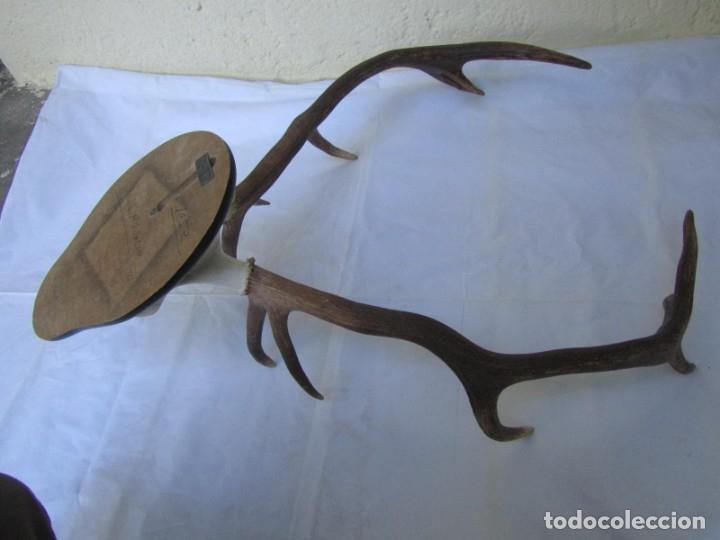 Antigüedades: Cornamenta de ciervo sobre placa de madera Los Alarcones, Andujar Jaén, 1993 - Foto 10 - 181037658