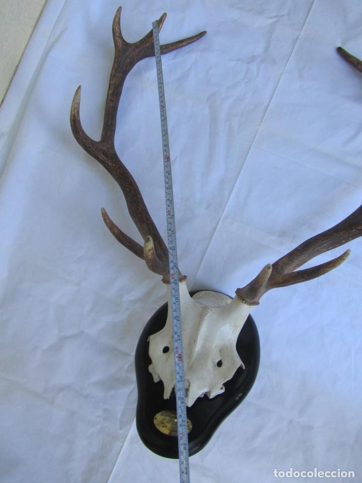 Antigüedades: Cornamenta de ciervo sobre placa de madera Los Alarcones, Andujar Jaén, 1993 - Foto 13 - 181037658