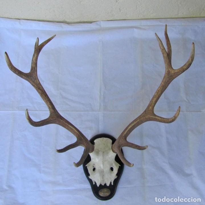 Antigüedades: Cornamenta de ciervo sobre placa de madera Los Alarcones, Andujar Jaén, 1993 - Foto 14 - 181037658