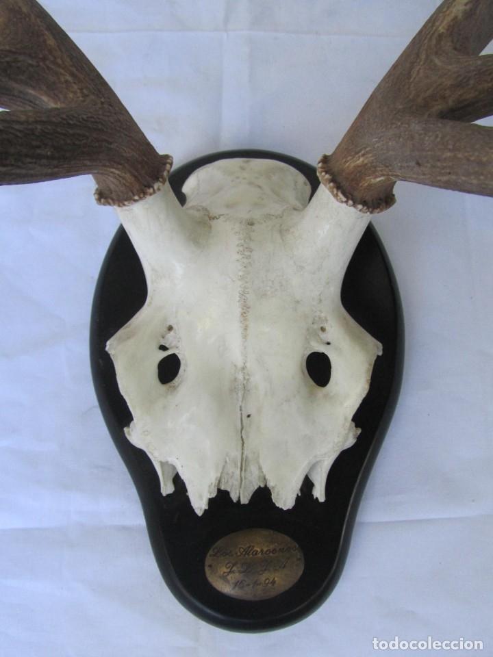 Antigüedades: Cornamenta de ciervo sobre placa de madera Los Alarcones, Andujar Jaén, 1994 - Foto 6 - 181037758
