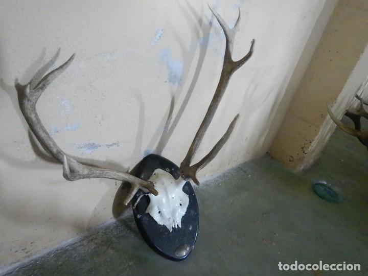 Antigüedades: Trofeo de ciervo - Foto 2 - 181717838