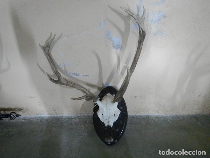 Antigüedades: Trofeo de ciervo - Foto 4 - 181717838