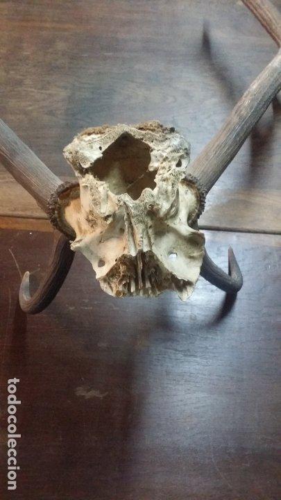 Antigüedades: cuernos posible ciervo - Foto 9 - 182331382