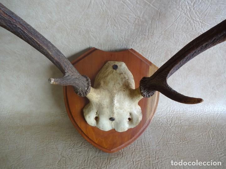 Antigüedades: antiguos cuernos de ciervo - Foto 2 - 95684447
