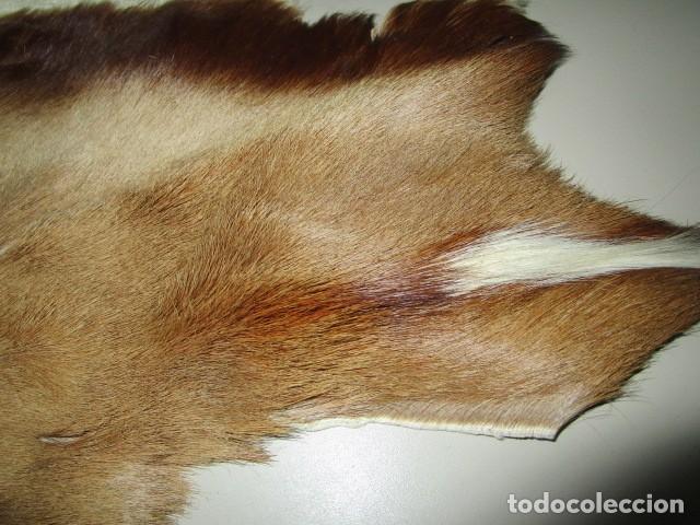 Antigüedades: TAXIDERMIA ANTIGUA PIEL DISECADA DE SIN IDENTIFICAR ORIGINAL 100% BUEN CONSERACION - Foto 9 - 194096896