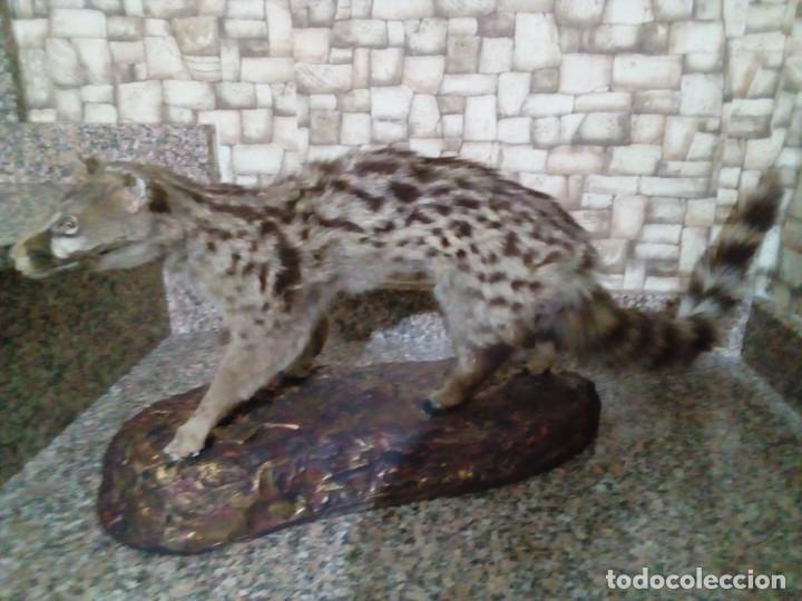 Antigüedades: GINETA DISECADA - TAXIDERMIA - Foto 3 - 194956611