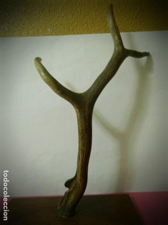 CUERNO O ASTA DE CIERVO EN PEANA DE MADERA. PERCHERO DE TRES CUERNOS 50 CENTIMETROS (Antigüedades - Hogar y Decoración - Trofeos de Caza Antiguos)