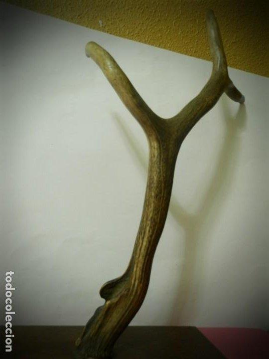 Antigüedades: CUERNO O ASTA DE CIERVO EN PEANA DE MADERA. PERCHERO DE TRES CUERNOS 50 CENTIMETROS - Foto 2 - 195945518