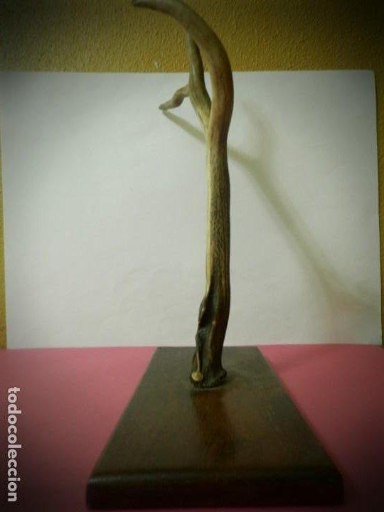 Antigüedades: CUERNO O ASTA DE CIERVO EN PEANA DE MADERA. PERCHERO DE TRES CUERNOS 50 CENTIMETROS - Foto 4 - 195945518