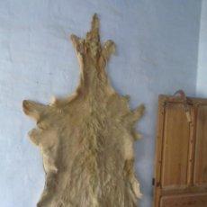 Antigüedades: TAXIDERMIA CAZA ENORME PIEL - PIEL DE CABRA ?. Lote 198475540