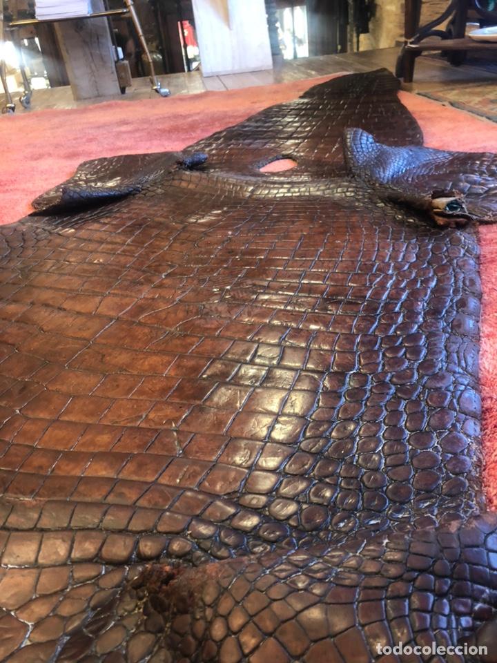 Antigüedades: Antigua Alfombra piel cuero cocodrilo caimán casi 4 metros - Foto 2 - 176649469
