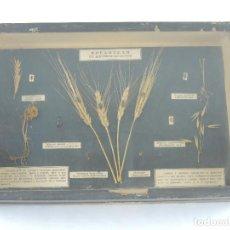 Antiquités: ANTIGUO TABLERO EXPOSITOR DE AGRICULTURA PLAGAS EN LAS PLANTAS DE CULTIVO Y CERALES. Lote 204144410