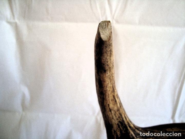 Antigüedades: GRAN CUERNA ANTIGUA DE VENADO SOBRE PEANA DE EVANO - Foto 5 - 205371216