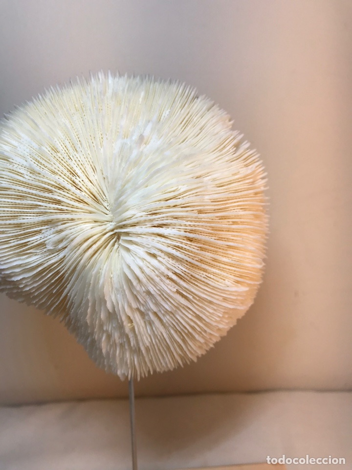 Antigüedades: Figura Adorno de Coral con base de madera. (1) - Foto 2 - 214192395