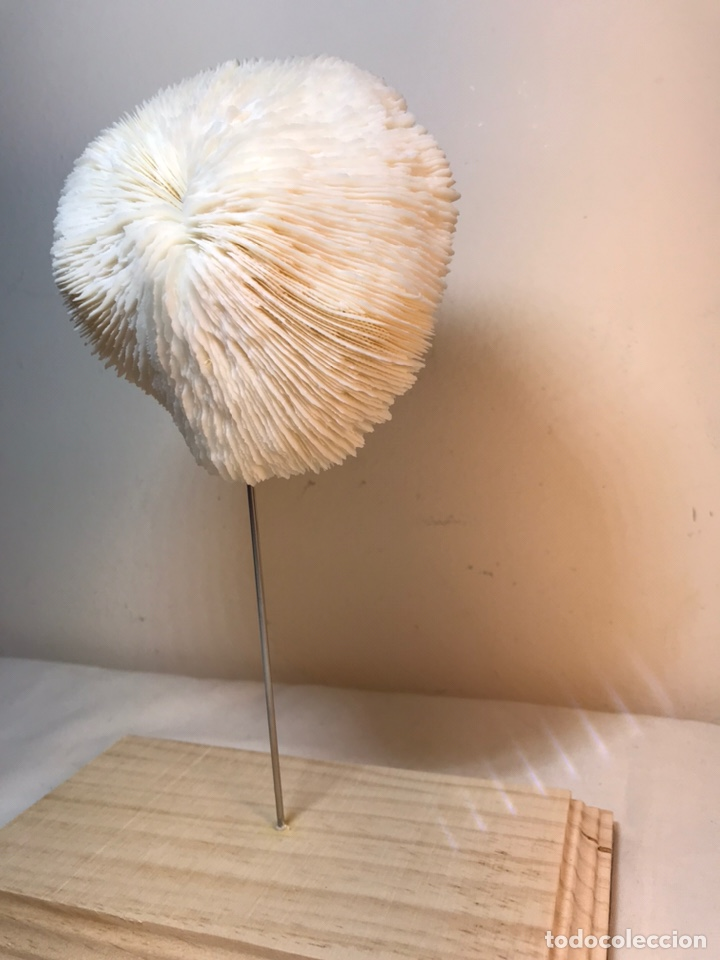 Antigüedades: Figura Adorno de Coral con base de madera. (1) - Foto 4 - 214192395