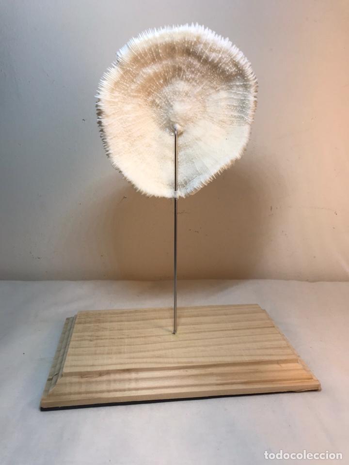 Antigüedades: Figura Adorno de Coral con base de madera. (1) - Foto 8 - 214192395