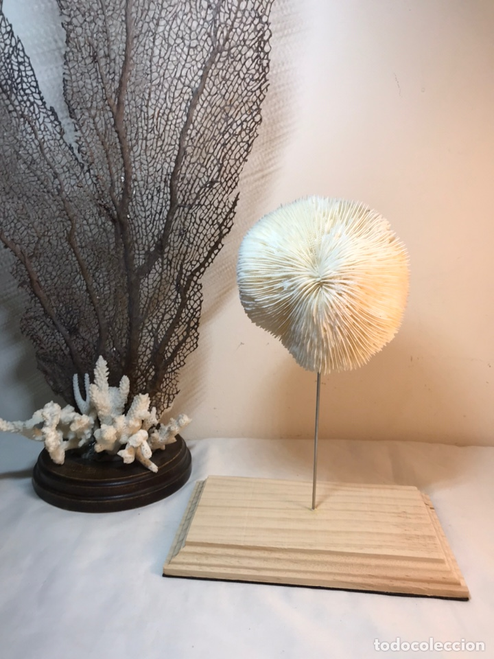 Antigüedades: Figura Adorno de Coral con base de madera. (1) - Foto 9 - 214192395
