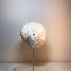 Antigüedades: FIGURA ADORNO DE CORAL CON BASE DE MADERA. (1). Lote 214192395