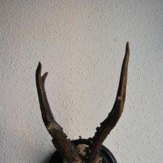 Antigüedades: CORNAMENTA DE CORZO - CUERNO - ASTA - TROFEO DE CAZA - AÑO 1907. Lote 217677667
