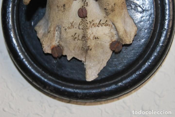 Antigüedades: CORNAMENTA DE CORZO - CUERNO - ASTA - TROFEO DE CAZA - AÑO 1907 - Foto 8 - 217677667