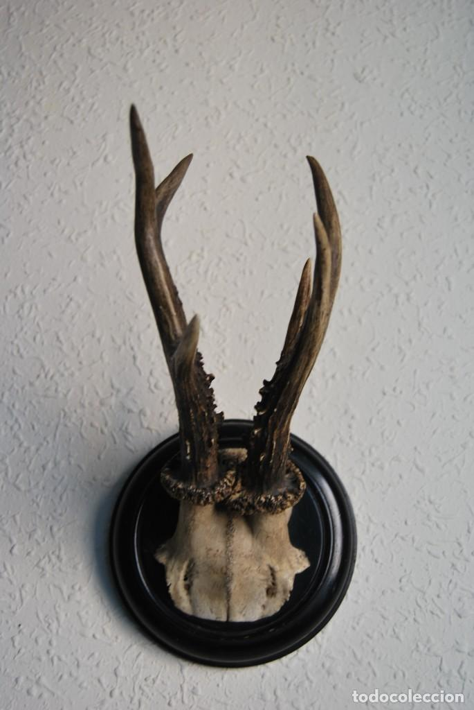 CORNAMENTA DE CORZO - CUERNO - ASTA - TROFEO DE CAZA - AÑO 1914 (Antigüedades - Hogar y Decoración - Trofeos de Caza Antiguos)
