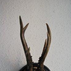 Antigüedades: CORNAMENTA DE CORZO - CUERNO - ASTA - TROFEO DE CAZA - AÑO 1914. Lote 217677956