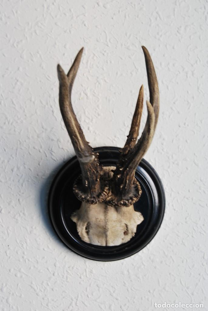 Antigüedades: CORNAMENTA DE CORZO - CUERNO - ASTA - TROFEO DE CAZA - AÑO 1914 - Foto 2 - 217677956