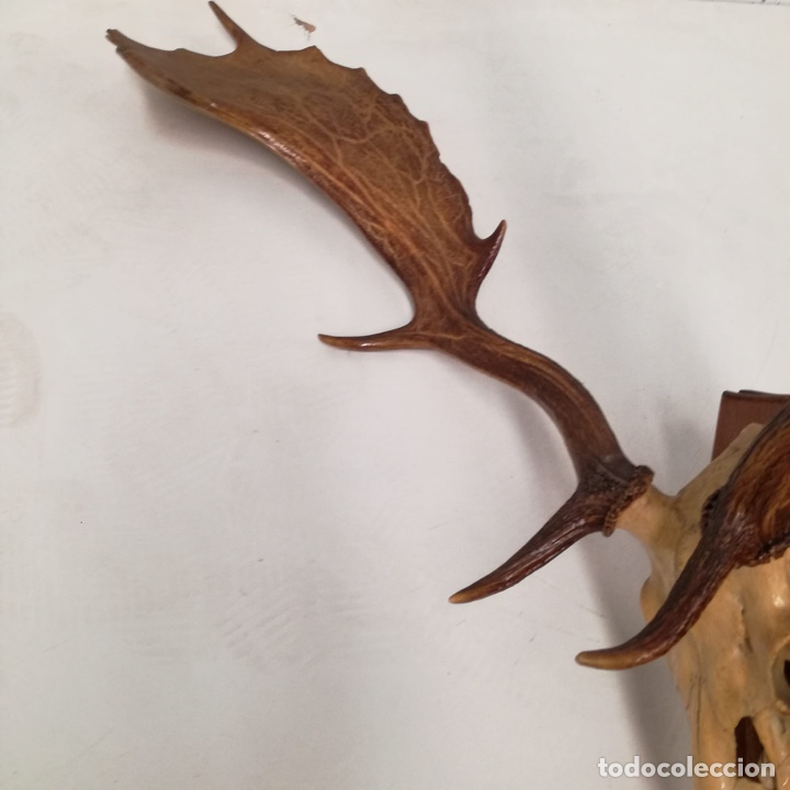 Antigüedades: Trofeo de caza alce - Foto 2 - 220759886