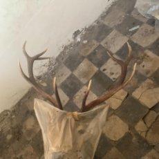 Antiquités: TROFEO DE CIERVO DISECADO. Lote 224895245