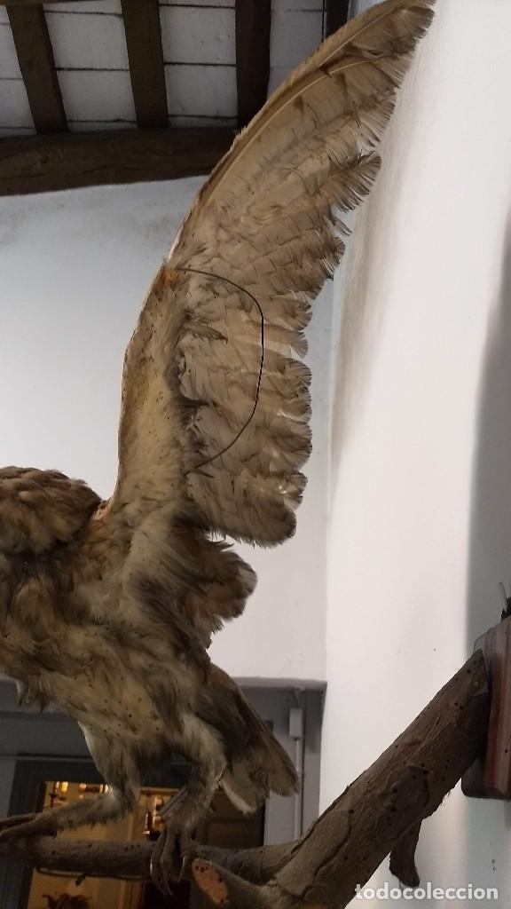 Antigüedades: Buho o lechuza disecada. Muy antigua - Foto 9 - 225152717