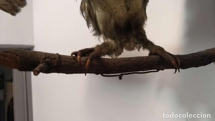Antigüedades: Buho o lechuza disecada. Muy antigua - Foto 12 - 225152717