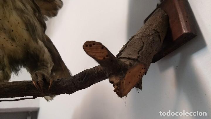 Antigüedades: Buho o lechuza disecada. Muy antigua - Foto 15 - 225152717