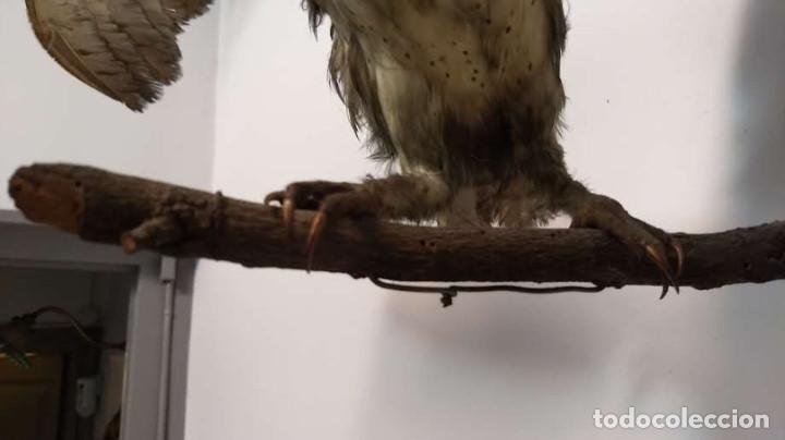 Antigüedades: Buho o lechuza disecada. Muy antigua - Foto 16 - 225152717