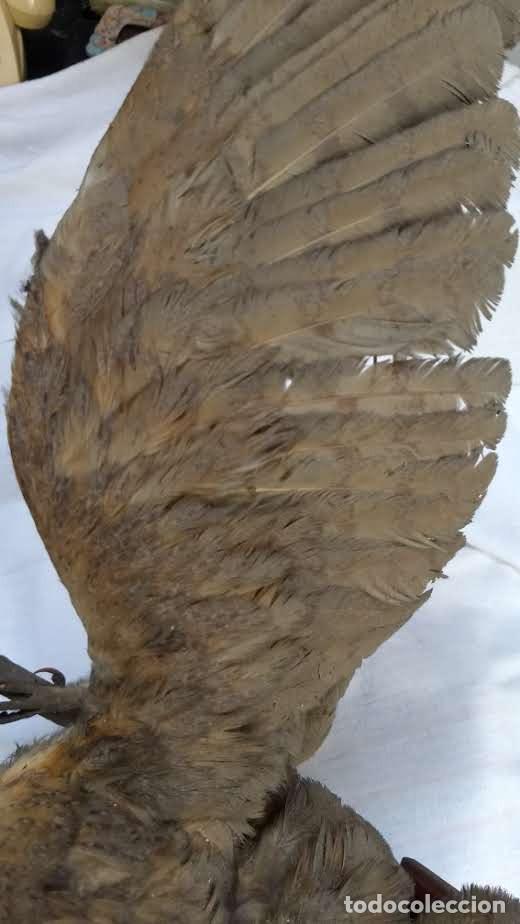 Antigüedades: Buho o lechuza disecada. Muy antigua - Foto 23 - 225152717