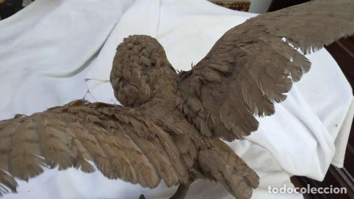 Antigüedades: Buho o lechuza disecada. Muy antigua - Foto 26 - 225152717