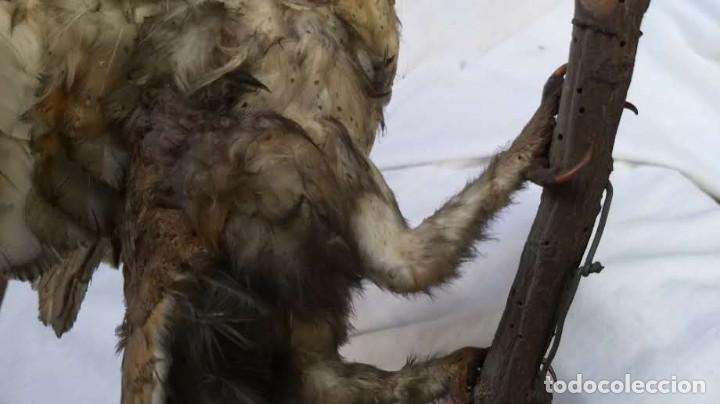 Antigüedades: Buho o lechuza disecada. Muy antigua - Foto 28 - 225152717