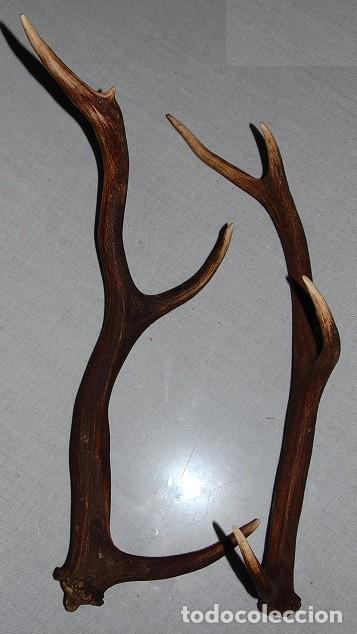 ANTIGUA PAREJA DE CORNAMENTAS/CUERNOS DE CIERVO DE UNOS 60 CM (Antigüedades - Hogar y Decoración - Trofeos de Caza Antiguos)