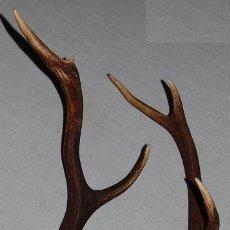 Antigüedades: ANTIGUA PAREJA DE CORNAMENTAS/CUERNOS DE CIERVO DE UNOS 60 CM. Lote 225208870
