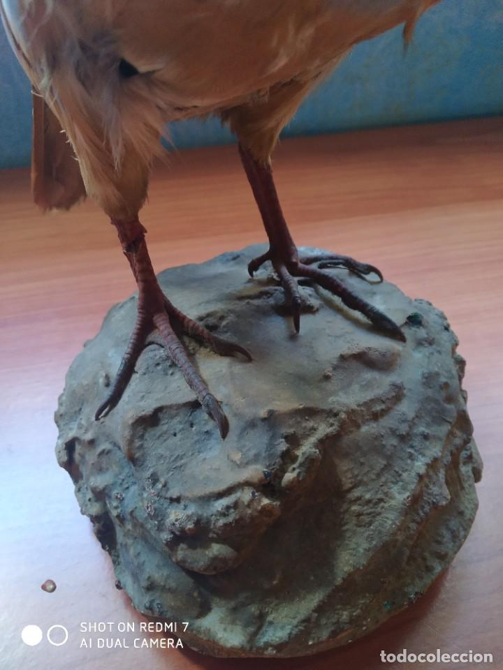 Antigüedades: Perdiz taxidermia - Foto 4 - 230968155