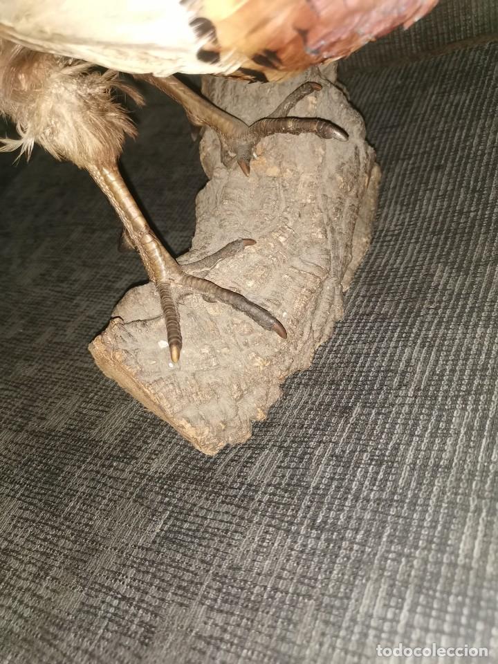 Antigüedades: Faisán disecado original - Foto 2 - 231250110