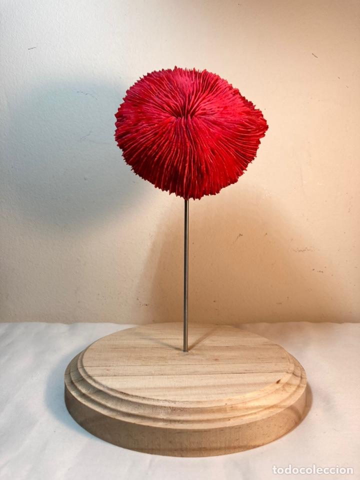 Antigüedades: Adorno de Coral Rojo con base madera (3) - Foto 4 - 235152570