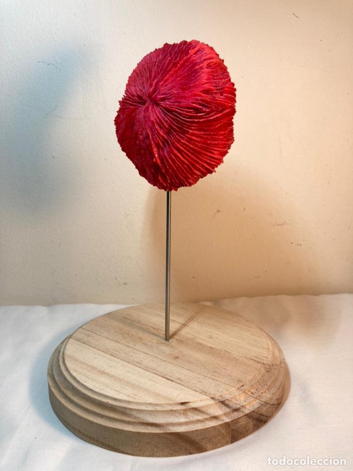 Antigüedades: Adorno de Coral Rojo con base madera (3) - Foto 5 - 235152570