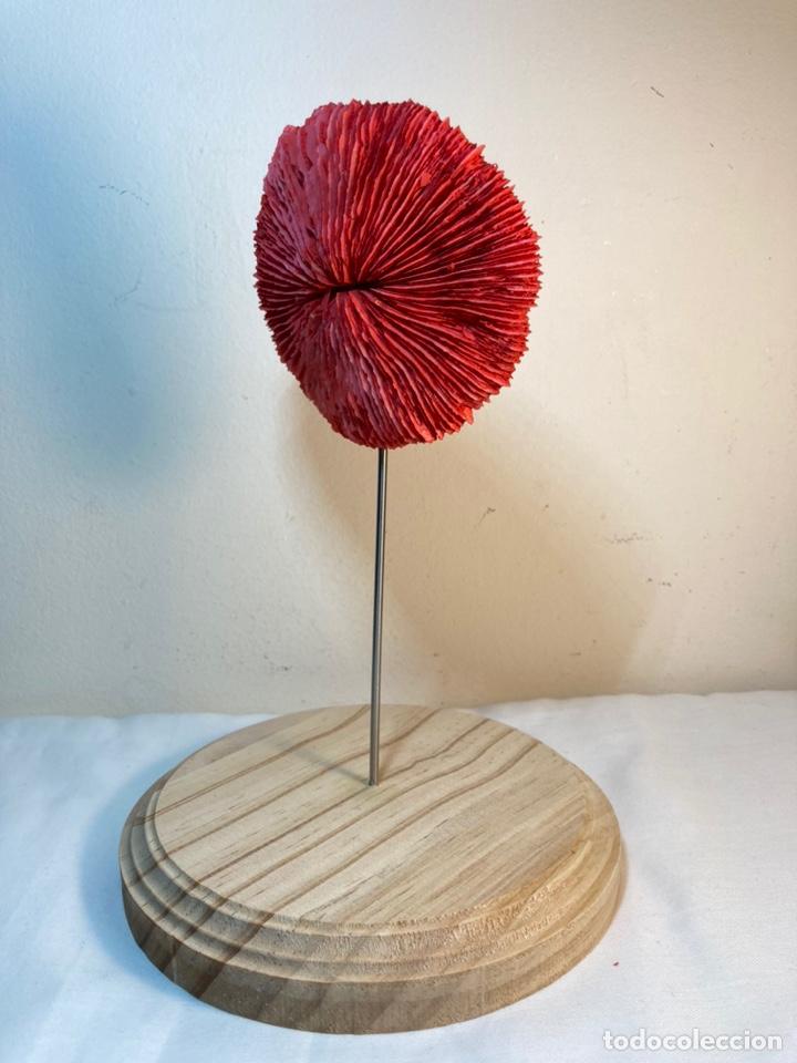 Antigüedades: Adorno de Coral Rojo con base madera (4) - Foto 6 - 235153190