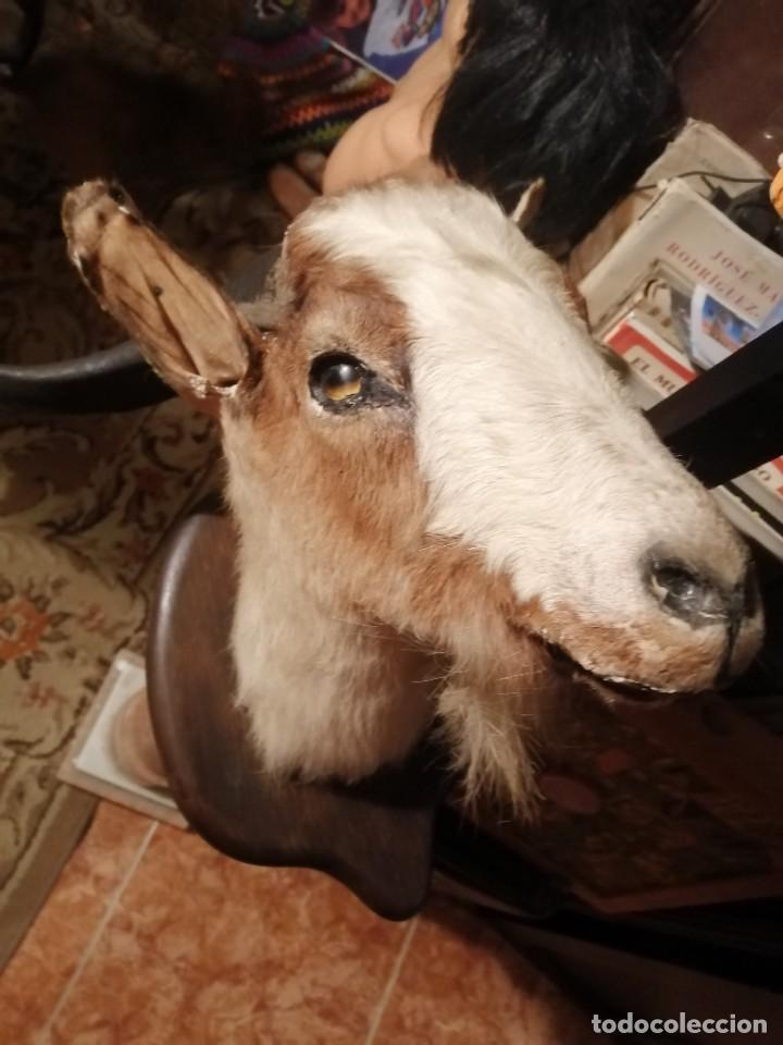 Antigüedades: cabeza de cabra disecada - Foto 2 - 235223275