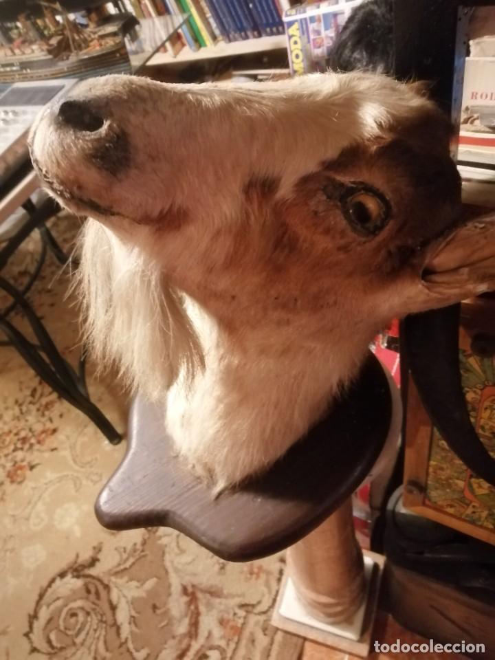 Antigüedades: cabeza de cabra disecada - Foto 4 - 235223275