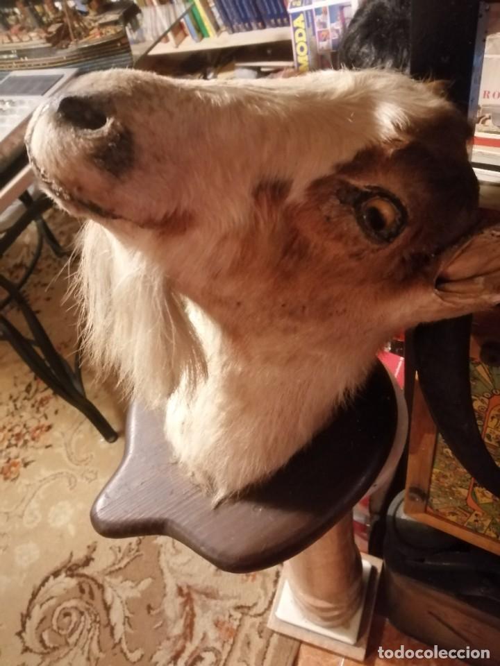 Antigüedades: cabeza de cabra disecada - Foto 5 - 235223275