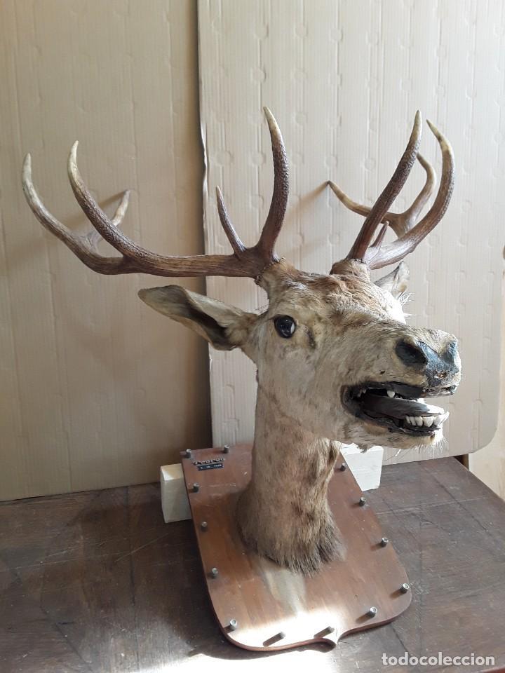 Antigüedades: Gran ciervo macho. Trofeo, año 1978 - Foto 2 - 237676500