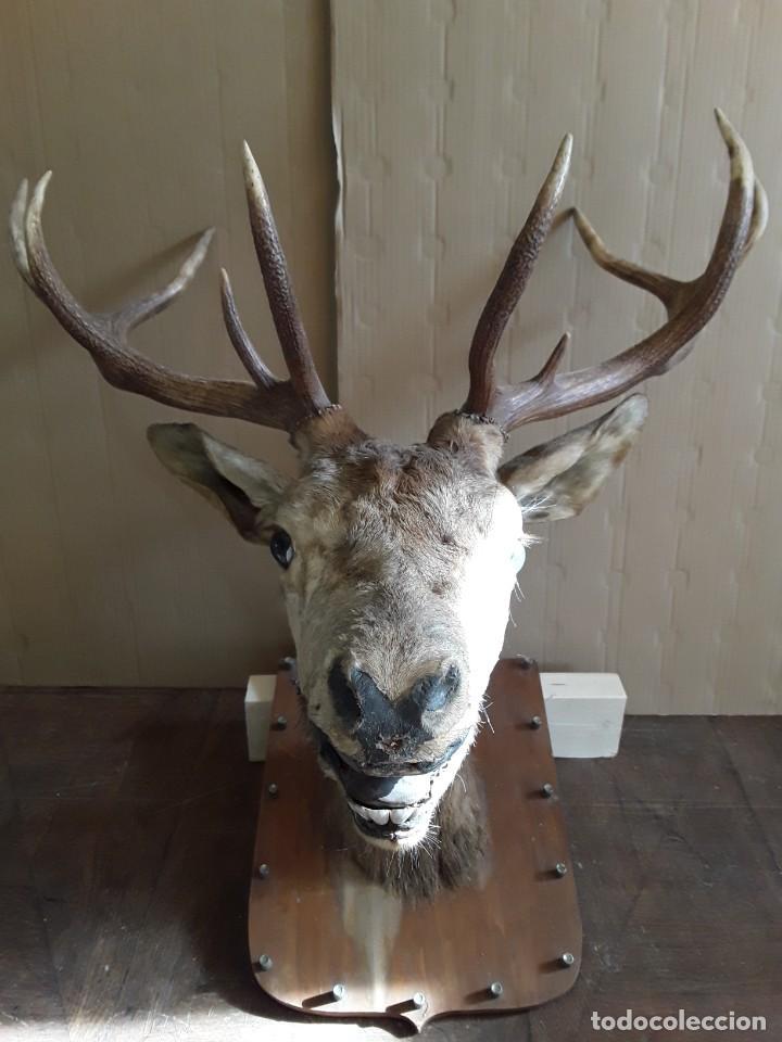 Antigüedades: Gran ciervo macho. Trofeo, año 1978 - Foto 3 - 237676500